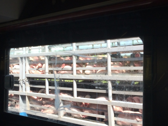 Truck of piglets.